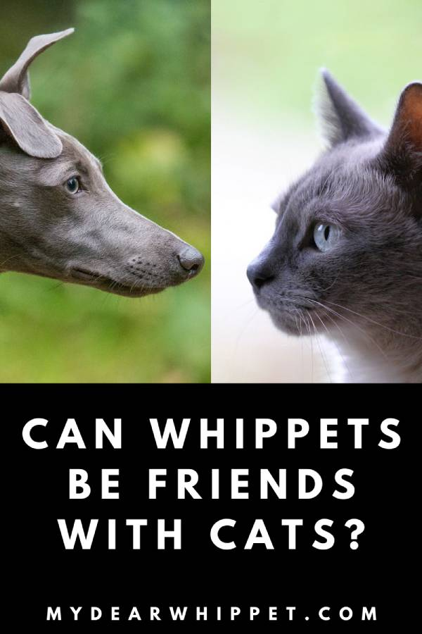 Can Cats and Whippets Be Friends?