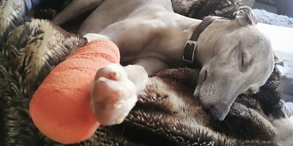 Misty the Dog With Bandaged Paw