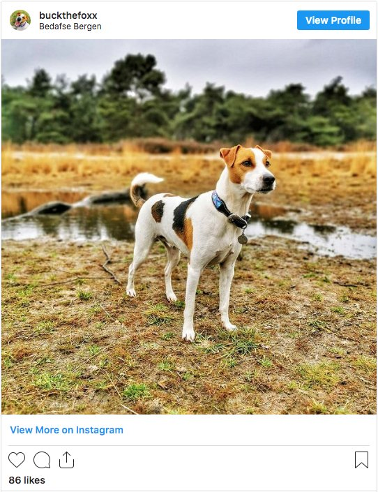 Whippet American Foxhound Cross