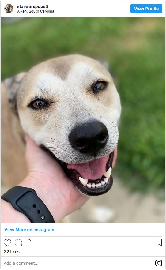 Whippet American Pitbull Terrier Mix