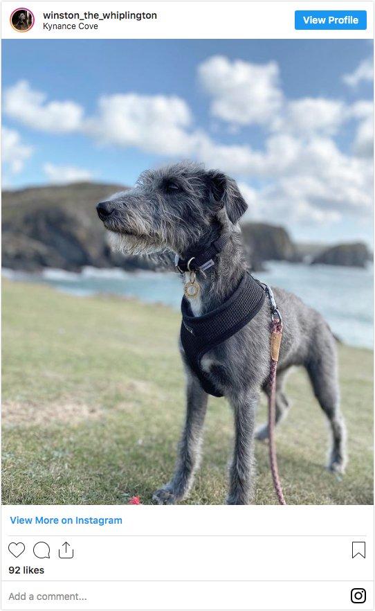 Whippet Bedlington Terrier Cross