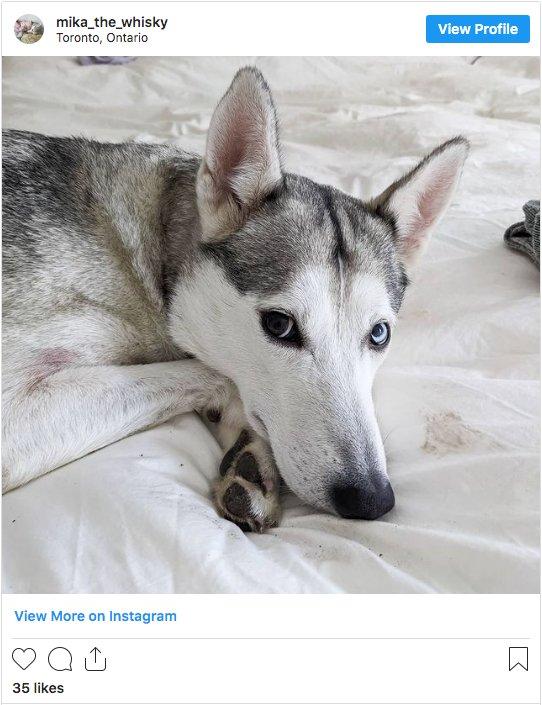Whippet Siberian Husky Mix