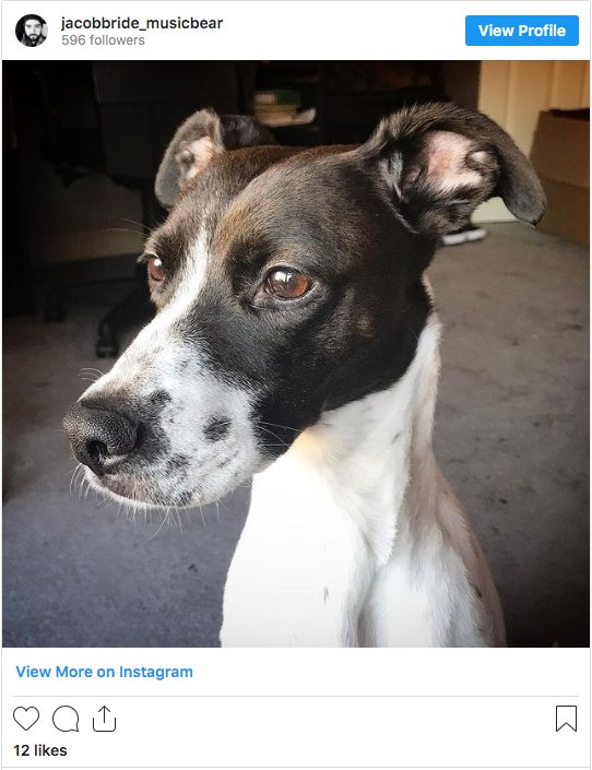 Whippet Shorthaired Pointer Mix