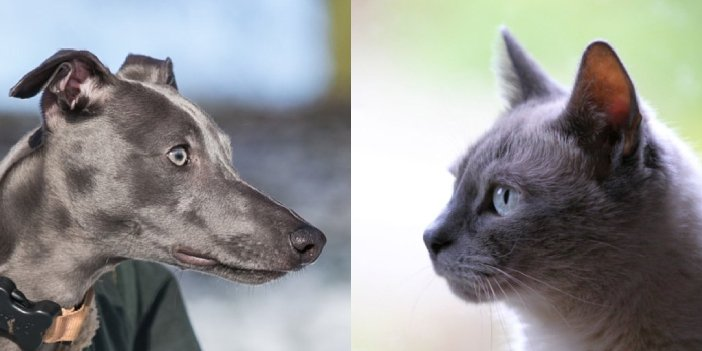 Do Whippets and Cats Get Along?
