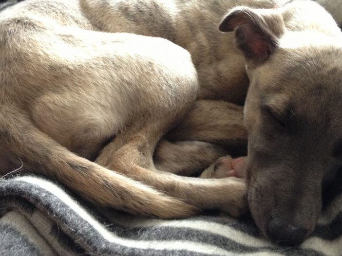 Buying a Whippet Puppy - Things to Think About