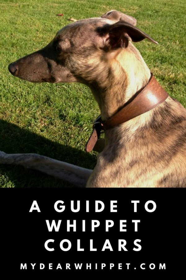 A Guide to Special Whippet Collars