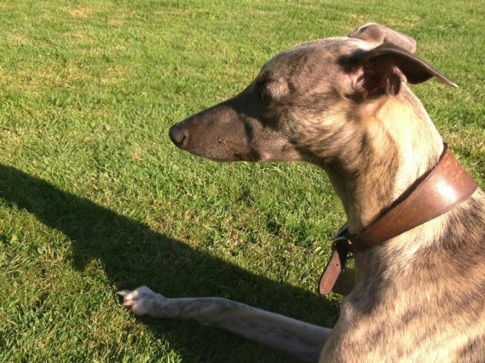 Why do Whippets Need Special Collars?