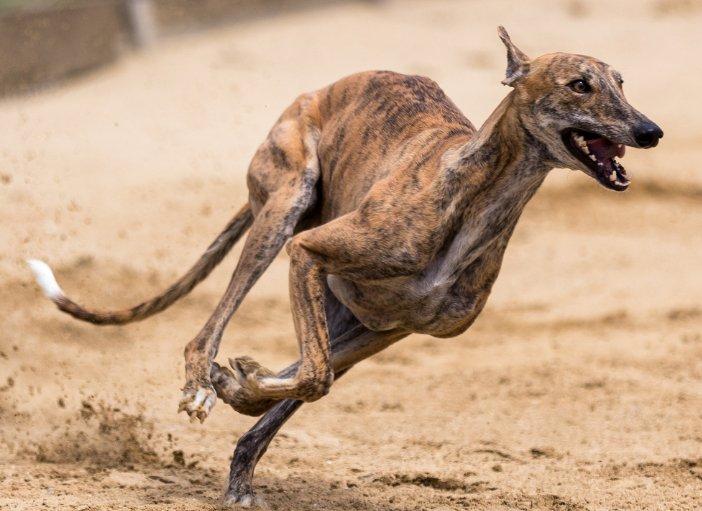 A Greyhound Running!