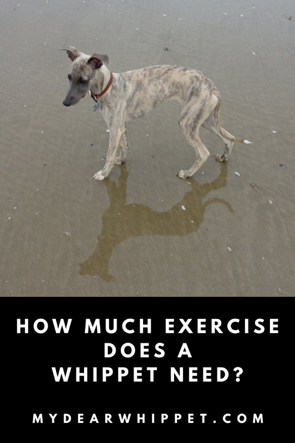 How Much Exercise do Whippets Need?