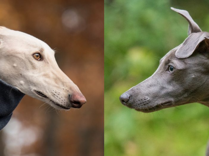 Whippets vs Greyhounds... What's the Difference?