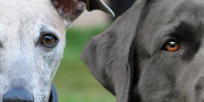 Whipador: Whippet Labrador Mix