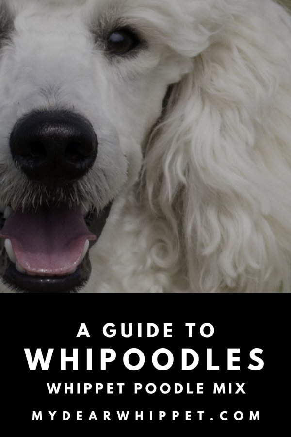 Whippet Poodle Mixes