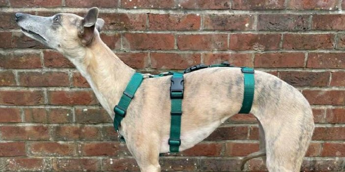 Find a Whippet Harness on Etsy!