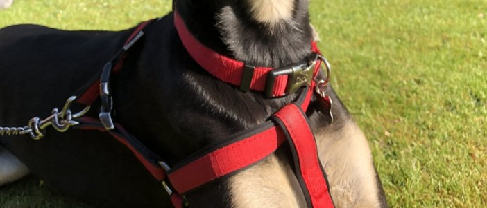 Detail of Whippet Harness