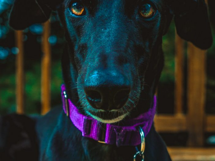 Martingale Whippet Collars