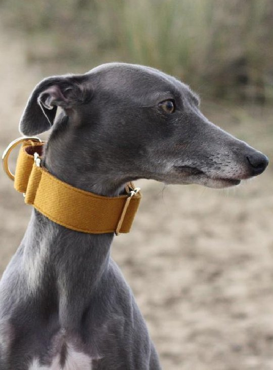 Mustard Martingale Whippet Collar