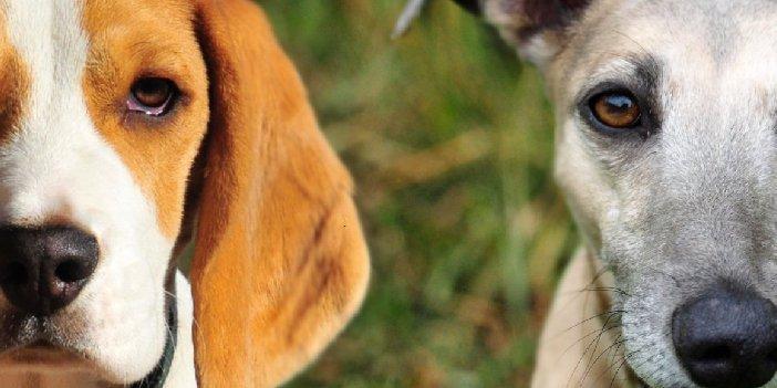 Photo of a Whippet Beagle Mix