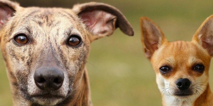 Whippet Chihuahua Mix Breed Information