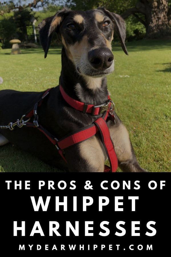 The Pros & Cons of Harnesses for Whippets