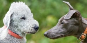 A Guide to the Bedlington Whippet Cross