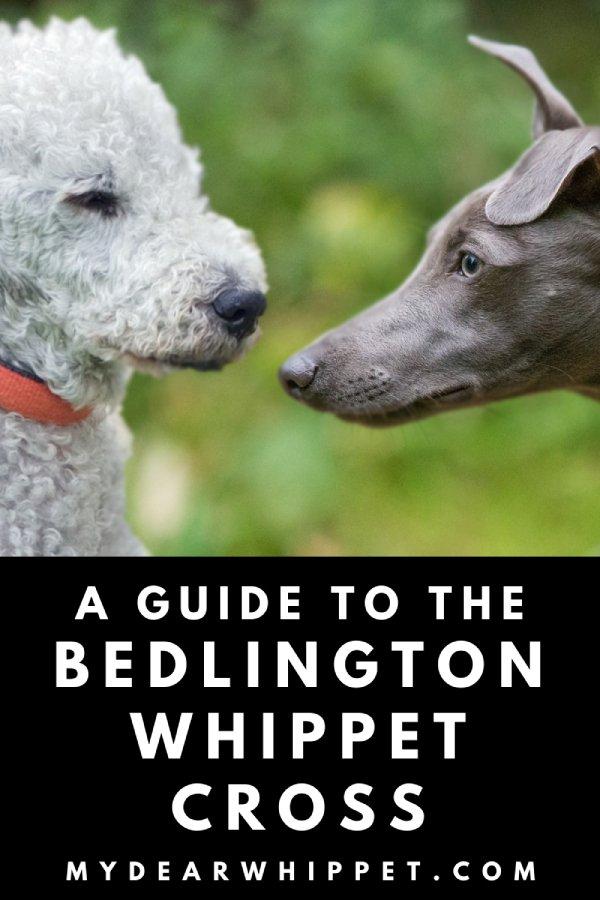 The Bedlington Terrier Whippet Mix