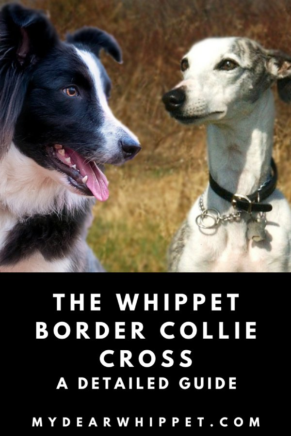 The Whippet Collie Cross Breed