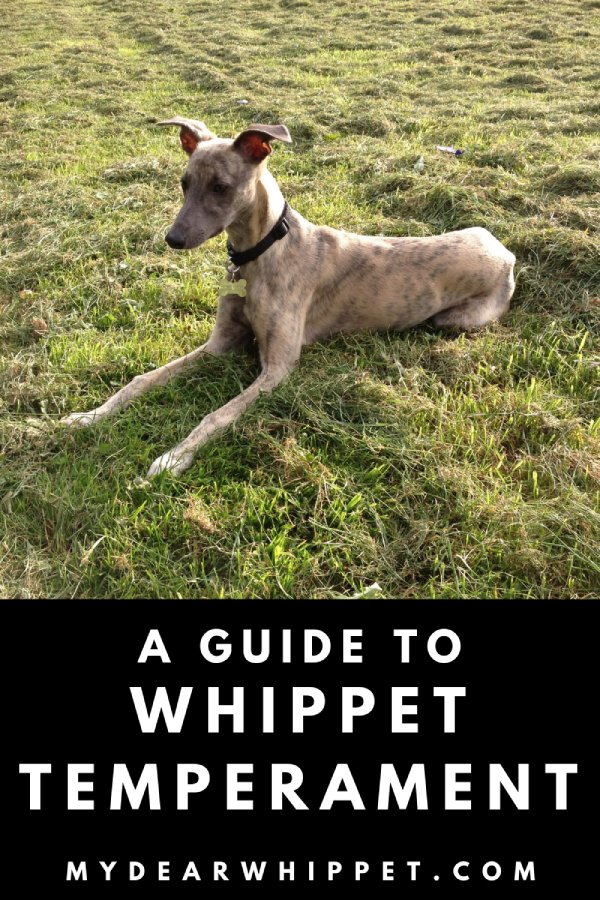 The Personality & Temperament of Whippets