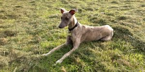 A Guide to Whippet Temperament
