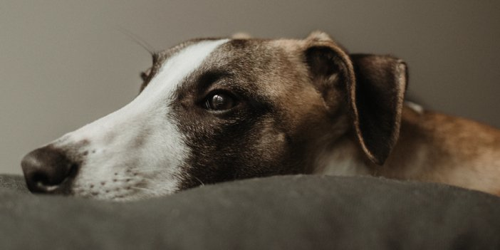 Are Whippets Hypoallergenic?