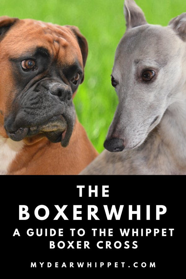 The Whippet Boxer Cross Breed