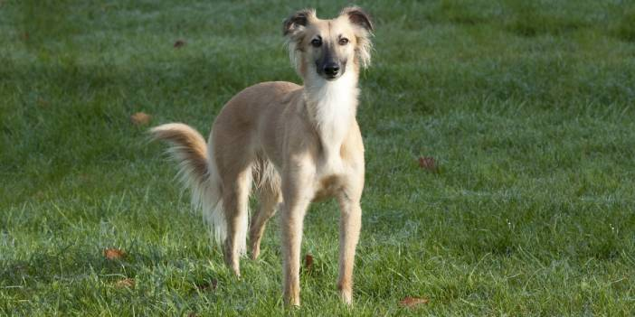 A Guide to Longhaired Whippets