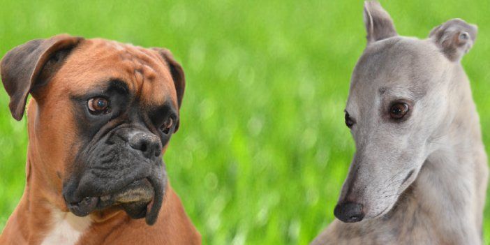 A Guide to the Whippet Boxer Mix