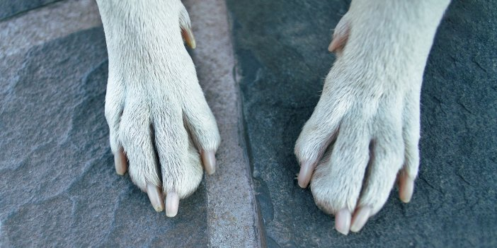 Dew Claws on Dogs