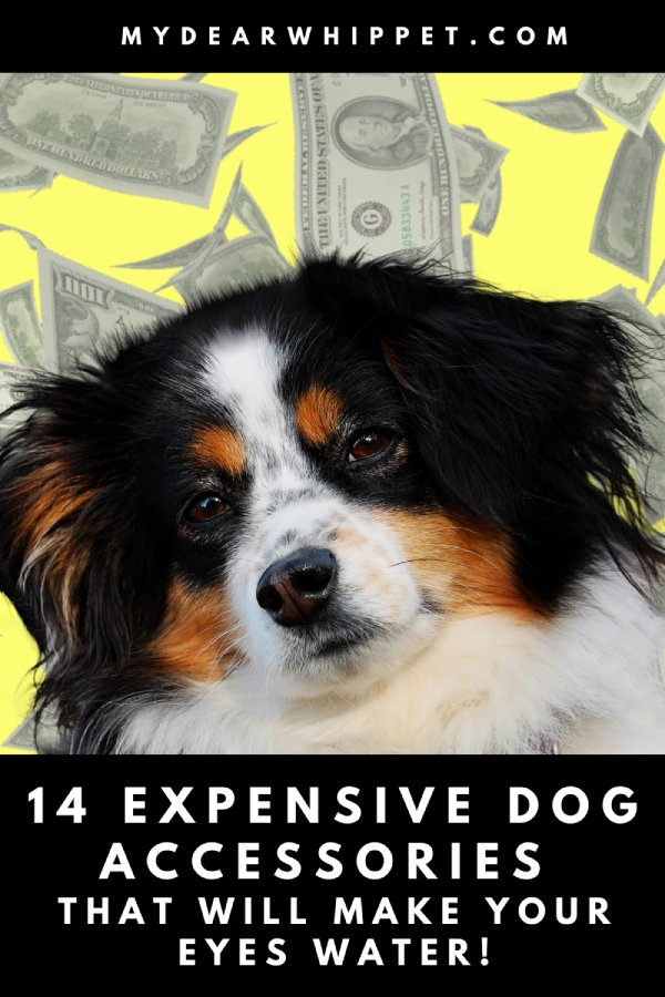 Dog Accessories That Cost a Small Fortune!