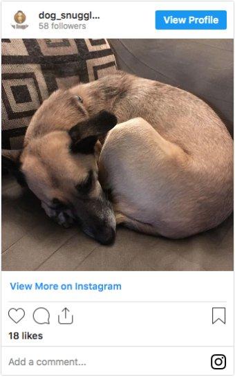 @dog_snuggles German Whippet on Instagram
