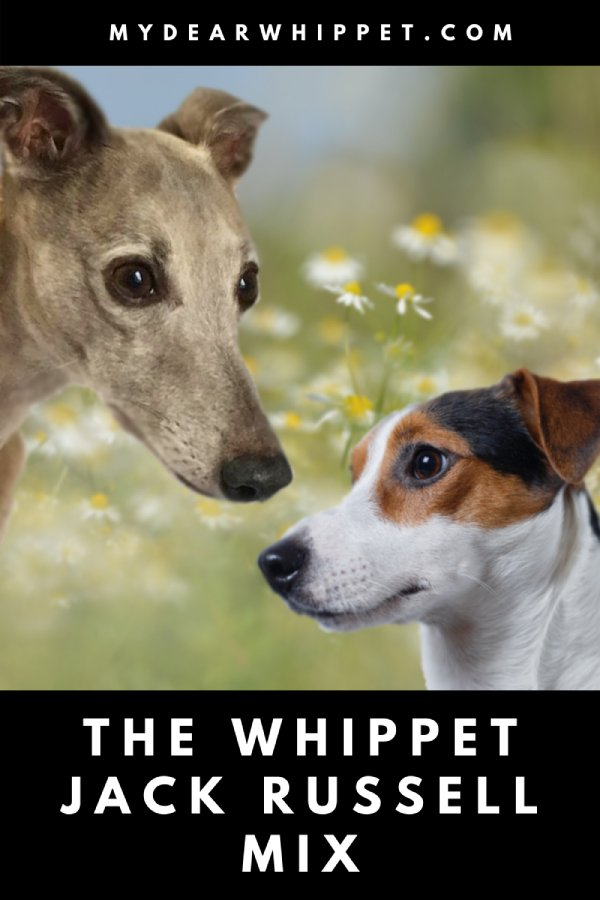 A Guide to the Whippet Jack Whippet Cross