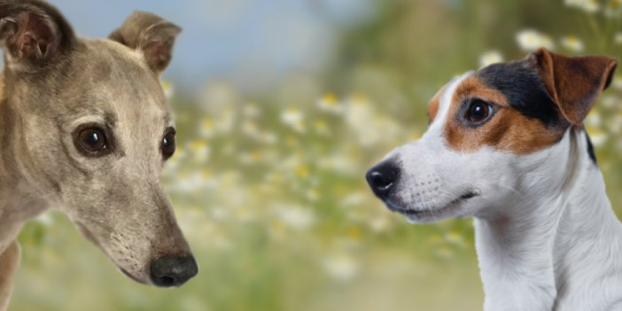 The Whippet Jack Russell Mix