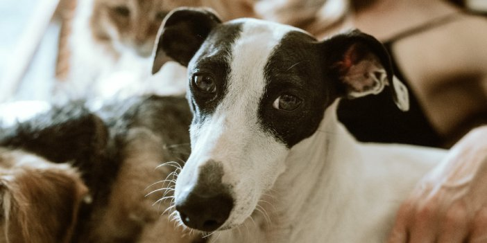 Are Whippets Aggressive?