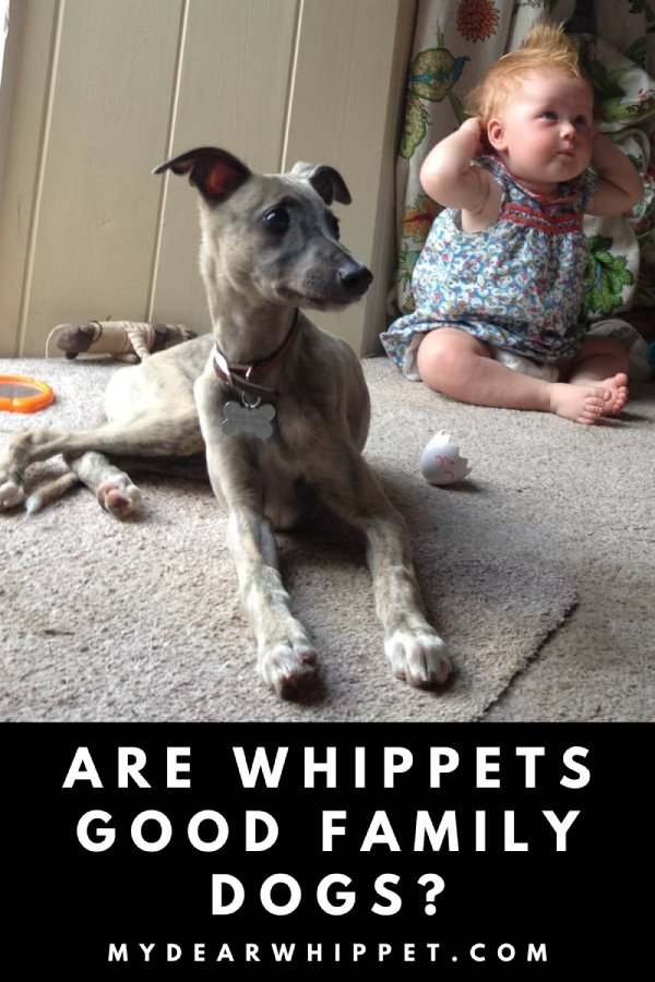 Do Whippets Make Good Dogs for Families?