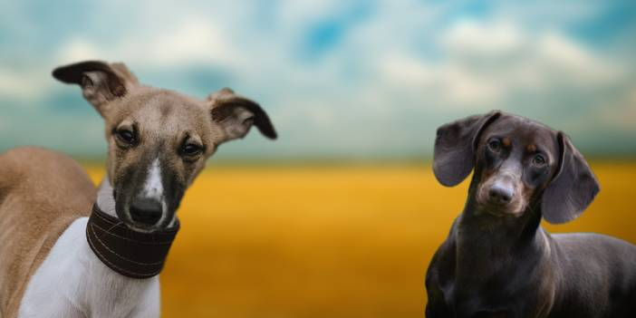 A Guide to the Whippet Dachshund Mix