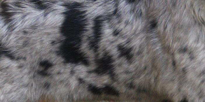 Merle Markings on an Australian Shepherd