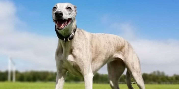 A Guide to Whippet Colours and Markings