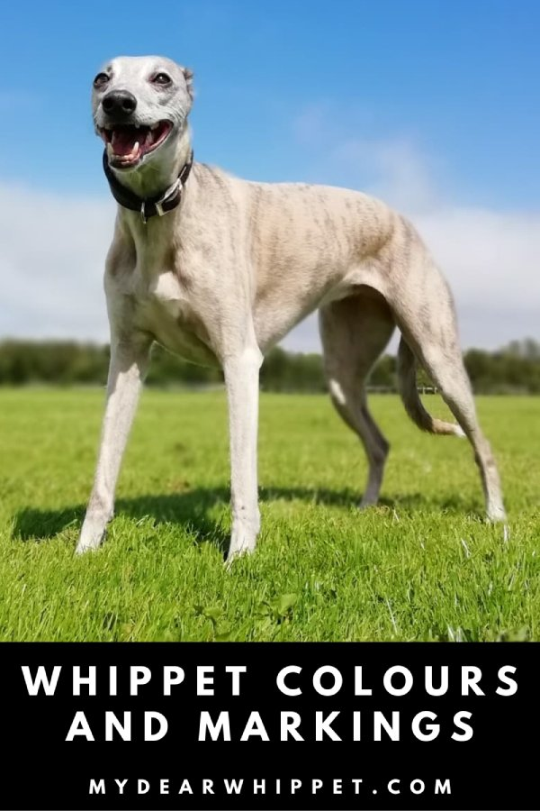 Whippet Coat Colours and Different Markings